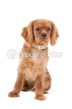 Brown cavalier king charles spaniel puppy by Erik Lam - Stock Photo