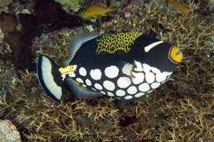 Palyaço-Tetik-Balığı