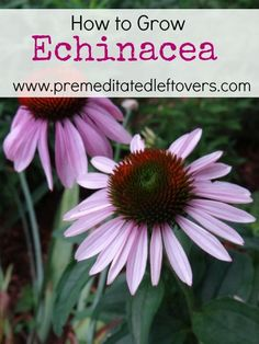 How to Grow Echinacea- Echinacea is a wonderful herb in flower beds or to harvest for its healing effects. Grow your own echinacea with these helpful tips.
