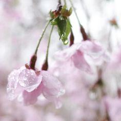 "Takahiro NISHIOKA 🇯🇵🌸 (@takahiro_nishioka) on Instagram: ""夢の中で見ているような…🌸 . . 2017/4/8 京都府立植物園 #retro_japan_ #icu_japan #kyoto #kyotobotanicalgarden…"""