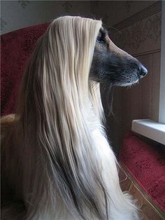 Amazing Dog Photography/Afghan Hound