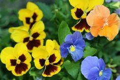 I've always loved pansies