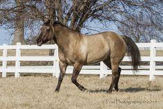 Grulla Quarter Horse (Sage)   Trail Photography © Copyright …   Flickr