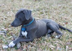 """Texas Blue Lacy Dog (USA) - Lifespan 15-16years   """"The Blue Lacy is a Texas native, a working dog bred to play an essential role in ranch operations."""