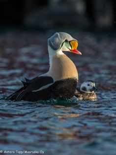 Male King Eider and female Long-tailed Duck, Båtsfjord, Norway. By Antero Topp