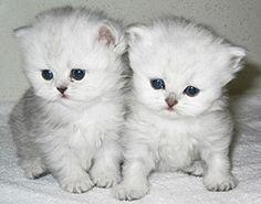 persian kittens. samanthab11