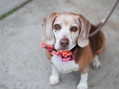 SUPER URGENT **RETURNED 01/27/17**  COCO – A0859716- SPAYED FEMALE, TRICOLOR, BEAGLE, 8 yrs STRAY Calm, friendly allows all handling.