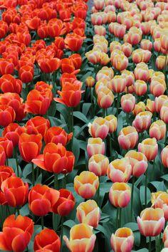 Holanda • Parque das Tulipas, Delft, Haia