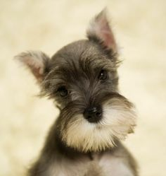 Miniature Schnauzer Puppy. Omg! I remember when Seymour and Sadie were this small..soo cute!!!