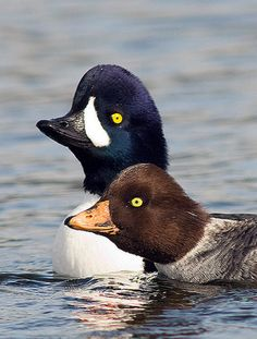 Barrow's Goldeneye, Bucephala islandica: a med-sized sea duck,  similar in appearance to the Common Goldeneye. Adult males have a dark head with a purplish gloss and a white crescent at the front of the face. Adult females have a yellow bill.  Their breeding habitat is wooded lakes and ponds primarily in NW N.A. but also in scattered locations in E Can. & Iceland