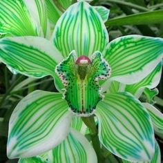 "Orchid.   (""Kiwi Green Cymbidium Orchid."")      (Pinned also to Nature - P&F-Flowers-*Heart-shaped Centers & Odd Flowers....)"