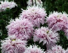 10+ Lilac PomPom Poppy Seeds