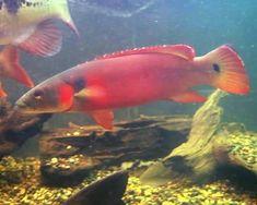 Red Tapajos Pike,Crenicichla sp. Tapajos RedSpecies Profile, Red Tapajos Pike Care Instructions, Red Tapajos Pike Feeding and more.::Aquarium Domain.com