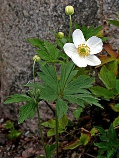 "Snowdrop Anemone, Anemone sylvestris.  Height 12-18"", Spread 9-12"". Flowers May-June.  Hardy to zone 4.  Part shade to shade.  Deer Resistant."