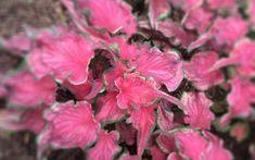 New Caladium Varieties