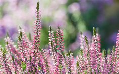 Fill your winter garden with scent, colour and silhouette! Don't let the garden go bare and dormant over the cold months. These winter-flowering plants will brighten up your pots and flower borders. Heather Winter-flowering heather is a brilliant plant for low-growing texture. It also looks fantastic in pots.