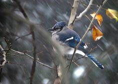 A Blue Jay caught in the middle of a blizzard  by bern161616