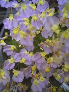 Utricularia bisquamata flora