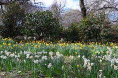 Daffodils, Hagley Park, Christchurch