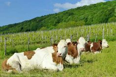 Learning about Comté cheese Jura France, Country Scenes, Wine Food, Cows, Travel, Animals, Wines, Food, Thermal Baths