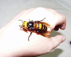 Japanese Giant Hornet, this is frightening. - Imgur
