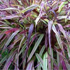 Excellent fall color sets this new gorgeous forest grass apart from Hakonechloa 'Aureola'. The creamy yellow and green variegated leaves become flushed with reddish-purple tones in fall. The color is