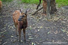 """Visayan Spotted Deer """"Usa"""" 