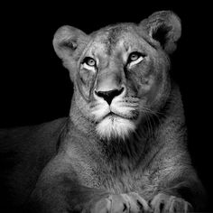 Amazing Black And White Animal Photography By Lukas Holas - Animals wild, Animals cutest, Animals funny, Animals drawings Beautiful Cats, Animals Beautiful, Animals Amazing, Animals And Pets, Cute Animals, Exotic Animals, Lioness Tattoo, Animals Black And White, Black White