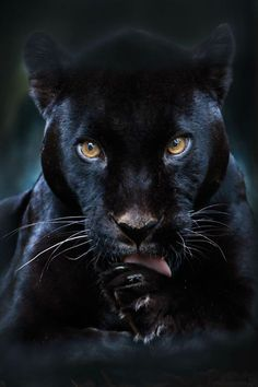 A black panther is typically a melanistic color variant of any of several species of larger cat. In Latin America, wild 'black panthers' may be black jaguars; in Asia and Africa, black leopards ; Black Panthers, Black Tigers, Beautiful Cats, Animals Beautiful, Simply Beautiful, Beautiful Gorgeous, Big Cats, Cats And Kittens, Animals And Pets