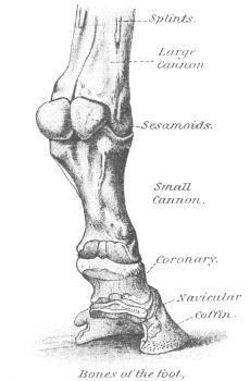 anatomy of the lower limb