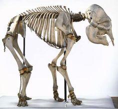 Esqueleto Elefante
