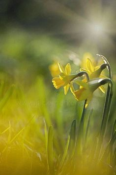 Yellow Daffodils of Spring in bokeh photography Love Flowers, Yellow Flowers, Spring Flowers, Wild Flowers, Beautiful Flowers, Exotic Flowers, Bokeh Photography, All Nature, Arte Floral