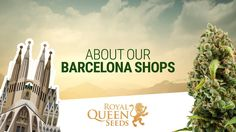 As one of the fastest growing cannabis seeds companies in Europe, Royal Queen Seeds is well on the way to become a worldwide market leader. With our new store in Barcelona, Royal Queen Seeds will be present right at the heart of Europe's cannabis culture!  Our Royal Queen Seeds Shops in Barcelona are specialized in offering growers all of our first-rate quality strains and products.
