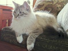 Lynxpoint ragdoll kitten   Available For Adoption | Purebred Cat Rescue