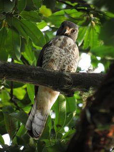 CARVALHO, R. W. (2015). [WA1831466, Rupornis magnirostris (Gmelin, 1788)]. Wiki Aves - A Enciclopédia das Aves do Brasil.
