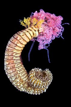 Who are the polychaetes? You are probably quite familiar with the earthworm. It is a member of the phylum Annelida; collectively, the s...