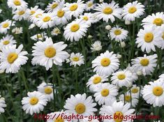 Daisy flowers is basically from sunflower family. Daisy flowers have many colors like white, Yellow, Pink and Herbal Remedies, Natural Remedies, Daisy Image, Natural Sleeping Pills, Roman Chamomile, Sleep Remedies, Organic Seeds, Medicinal Plants, Flower Photos