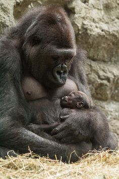 Baby gorilla with mom Lilly at the Buffalo Zoo
