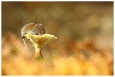 Vole on Mushroom