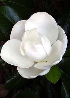 """""""Magnolia"""" Sweet, Southern Magnolia. The smell of Summer!"""