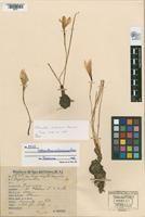 Habranthus venturianus