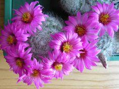 Mammillaria (Krainzia) guelzowiana
