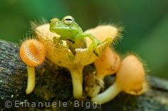 frog in fungi~~ omg.too freakin' cute! Funny Frogs, Cute Frogs, Nature Animals, Baby Animals, Cute Animals, Beautiful Creatures, Animals Beautiful, Sapo Meme, Frog And Toad