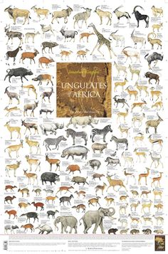 """THE GRAZERS AND BROWSERS  The Korck Publishing wall poster """"Ungulates of Africa""""  $13.83"""
