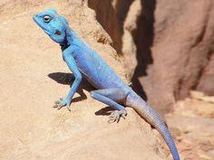 Agama azul del Sinaí / Sinai Blue Agama (Pseudotrapelus sinaitus) by copepodo, via Flickr