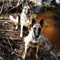 The girls and I hanging out at the river! #germanshepherd #malinois #shepherdsofinstagram #dog #dogstagram #dogoftheday #instadog #pet #petstagram #petoftheday #animal #animallover #solutionk9 #getthebestoutofyourdog #taranaki #taranakidogtrainer #naki #taradise #nz #nzdogtrainer #newzealand #dognz #newplymouth #aotearoa #workingdog #petdog #adventures #funwithdog #nzdogs #dogsofnz