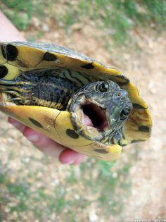 Baby Red Eared Slider Turtles | wildlife reptile turtle turtles pond photography nature