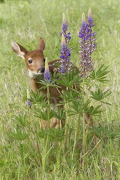 A sweet little fawn!