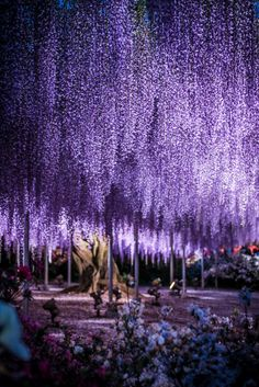 The Great Purple Wisteria | Japan | Flickr - Photo Sharing!