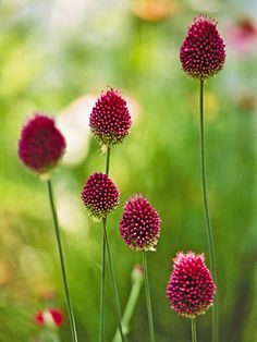 Drumstick allium Allium sphaerocephalon offers egg-shape reddish-purple spheres in early summer on 2-foot-tall stems. Zones 5-9